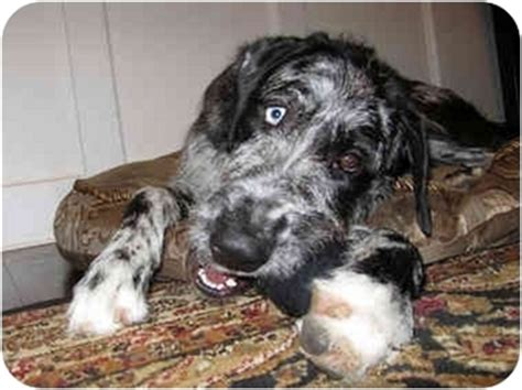 wolfhound mix puppies for sale image gallery dane