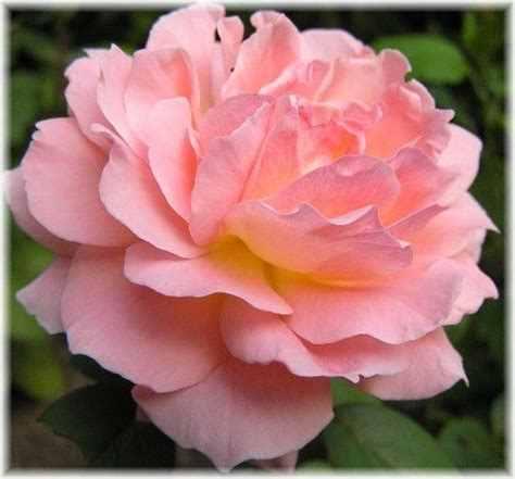 diana princess of wales rose diana princess of wales hybrid tea rose floral artistry