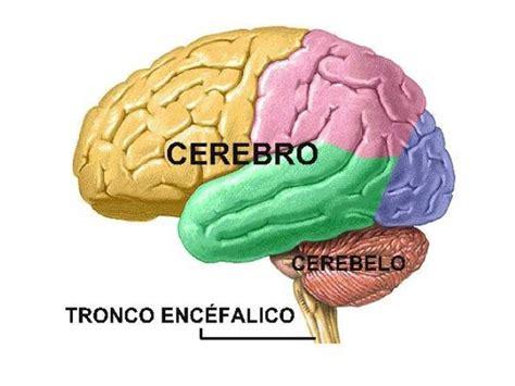 imagenes de el cerebro humano el cerebro humano