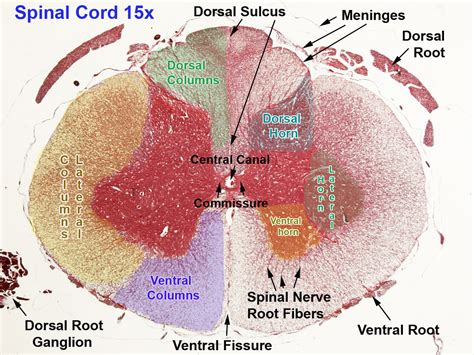 Spinal Cord Cross Section Slide by New Page 2 Faculty Montgomerycollege Edu