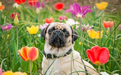 pugs and roses pug hd wallpaper and background image 2560x1600