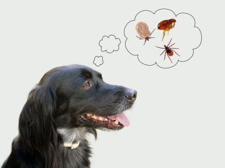 can ticks kill dogs 10 ways get rid of fleas on dogs quickly and naturally howhunter
