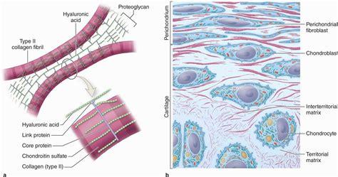 cartilage diagram cartilage basicmedical key