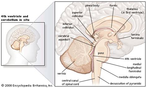 human brain sagittal section midbrain anatomy britannica com