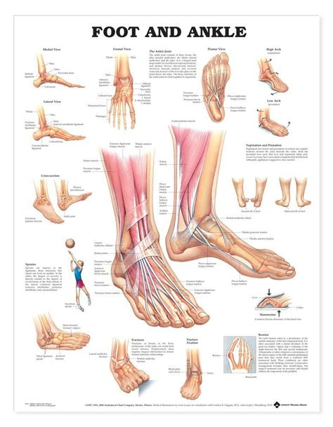 sections of the foot anatomy chart foot and ankle