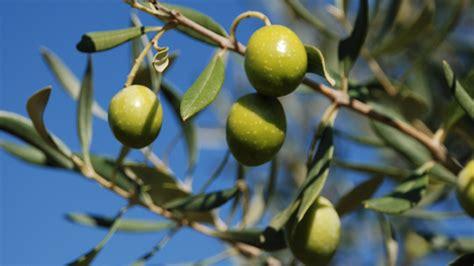 concime per olivo in vaso concime per piante di ulivo potatura dellolivo rivista di