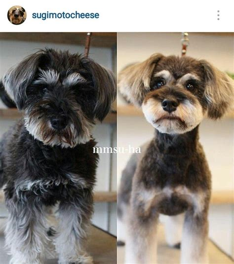 repinned schnauzer terrier grooming hairstyles 150 best images about dog grooming on pinterest poodles