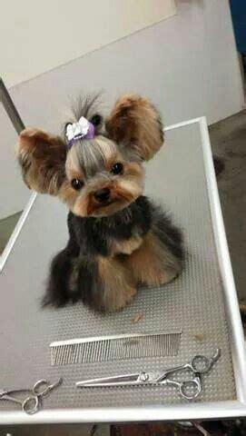 yorkie round face cut 1000 id 233 es 224 propos de yorkshire terrier haircut sur