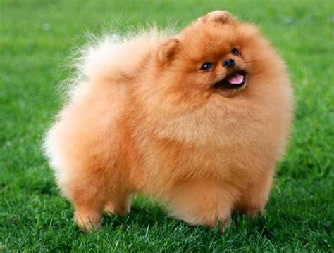 german spitz and pomeranian differences kleinspitz or pomeranian breeds picture