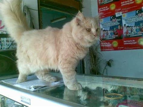 Boneka Hewan Kucing Siam Jumbo madiun kicau mania tips merawat kucing bagi pemula