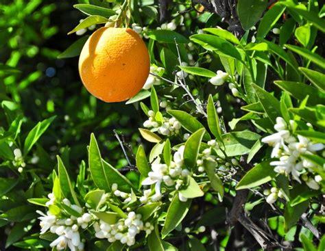 zagara fiore la zagara il profumatissimo fiore dell arancio e limone