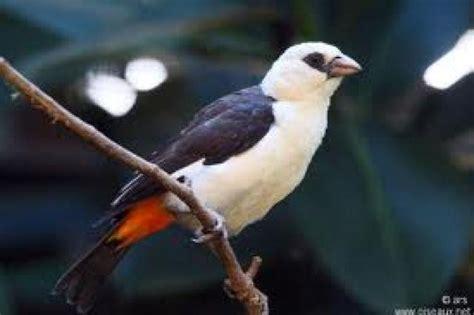 le roman bourgeois wikip 233 dia oiseaux embranchement alecto totems scouts be