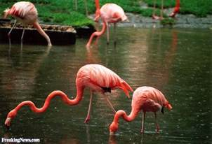 pink flamingos 1000 images about flaming flamingos on pinterest