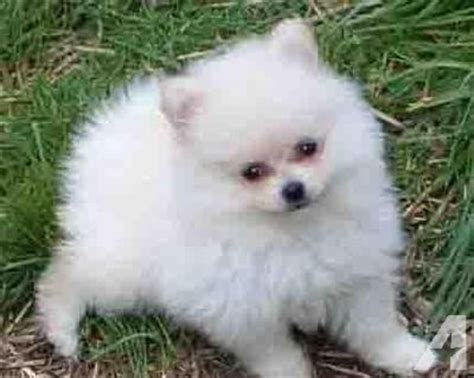 pomeranian puppies atlanta two pomeranian puppies for sale in atlanta classified americanlisted