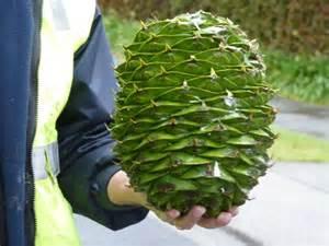 bunya pine cone abc news australian broadcasting