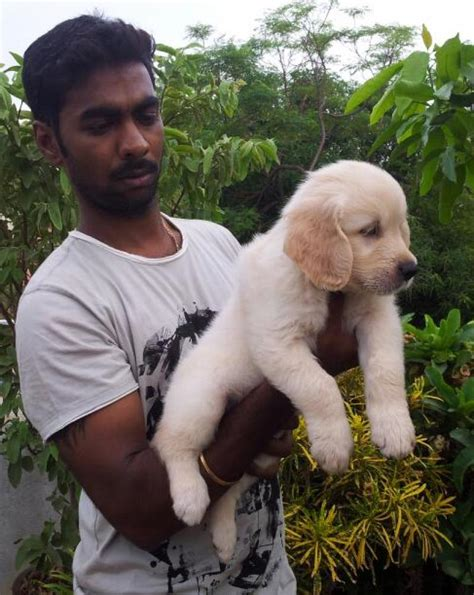 golden retriever puppies cost in india golden retriever puppies india breeds picture