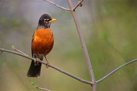 facts about the wisconsin state bird american robin