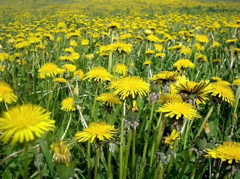 dandelion facts 100 dandelion facts choice organic teas wellness