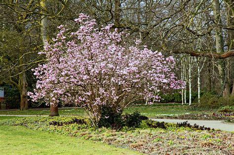 Schneeball Garten by Duft Schneeball Im Botanischen Garten G 252 Tersloh Duftschneeball