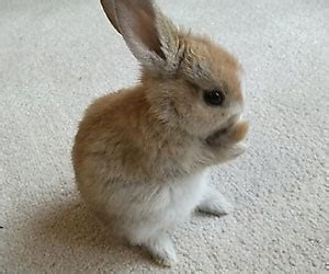 House Rabbit by Baby Brown Rabbits Www Pixshark Images Galleries