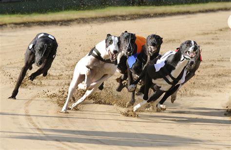 puppy racing greyhound racing betting how to bet tips design bild