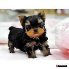 Yorkie puppies teacup yorkie puppies for sale bellevue animals
