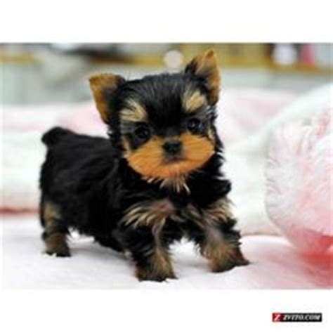 yorkie puppies for sale in oklahoma 1000 images about teacup cuteness on teacup puppies teacup poodles and