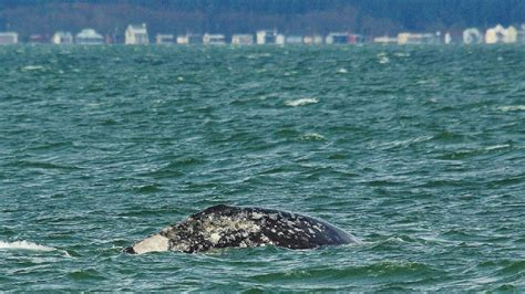 gray whales make annual visit to puget sound komo