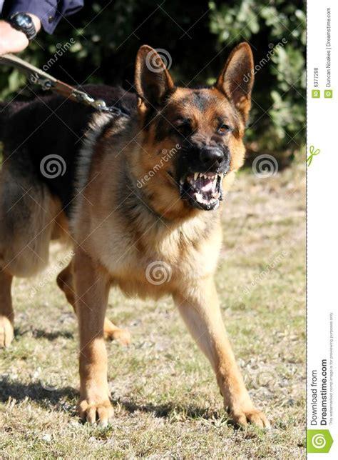 vicious barking vicious royalty free stock photos image 6377298