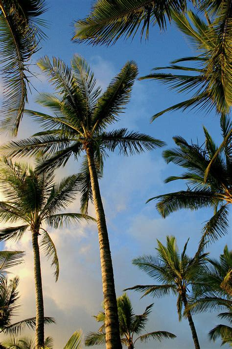 tropical palm trees tropical palm trees of hawaii photograph by