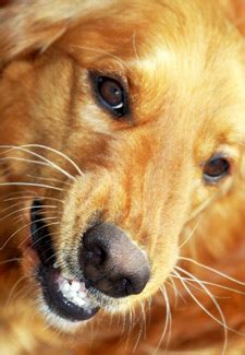 golden retriever puppy aggressive behavior guests put a stop to these 5 behavior problems