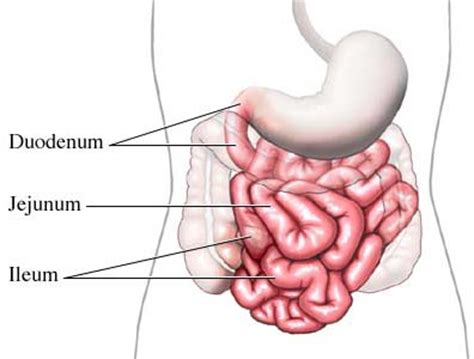 three sections of small intestine small intestine causes symptoms treatment small intestine