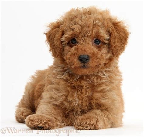 poodle puppy 25 best ideas about poodle puppies on poodles maltipoo and