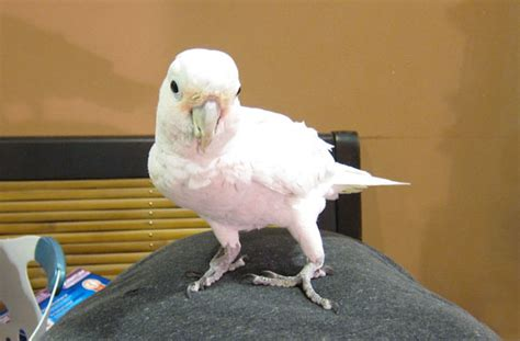 goffin cockatoo rescue in sw florida goffin s cockatoo