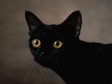 fondos de pantalla de gato negro wallpapers de gato negro
