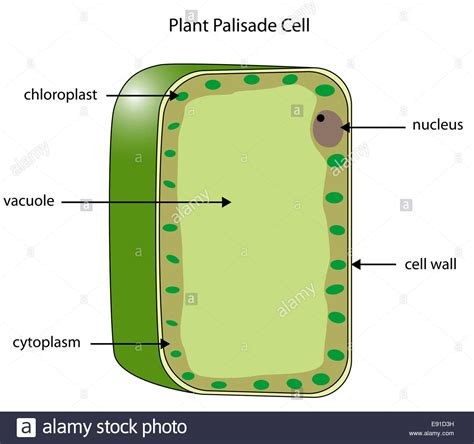 mesophyll cell diagram labeled diagram of a plant palisade cell where