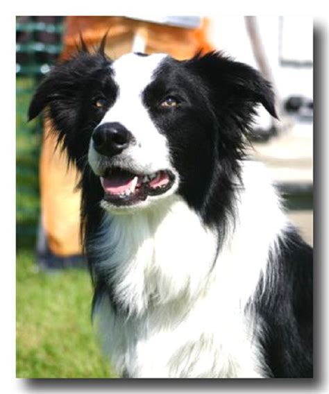 border collie puppies for sale in wisconsin 17 best ideas about collie puppies for sale on collies for sale border