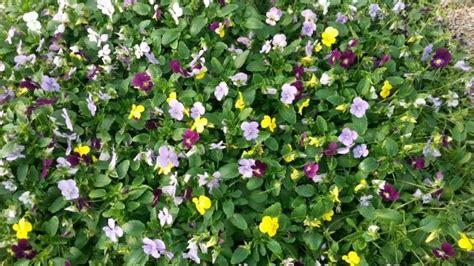 viole in vaso vendita piantine di viole cornute colori assortiti in