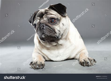 silver grey pug pug colors silver gray brown pictures to pin on pinsdaddy