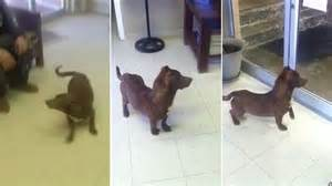 dachshund pitbull puppy rami the pitbull dachshund goes viral as potential owners line up to adopt the