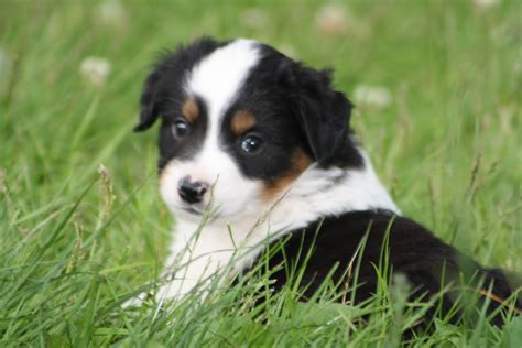 australian sheepdog puppy miniature australian shepherd in the grass photo and wallpaper beautiful