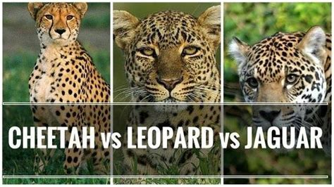 jaguar vs cheetah would a leopard a cheetah or a jaguar win in a fight