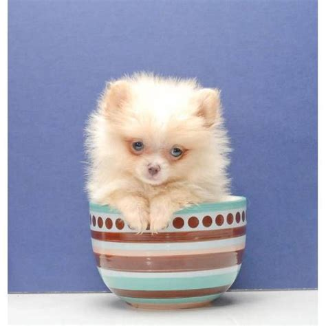 pomeranian teacups for sale 25 best ideas about pomeranian puppies for sale on teacup pomeranian