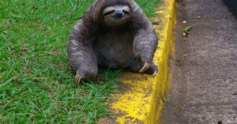 perezoso sloth costa rica cachorritos  animales