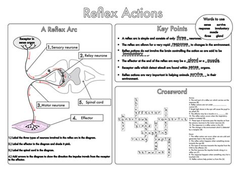 How The Nervous System Works Worksheet Answers by Gcse Worksheets On The Nervous System By Beckystoke
