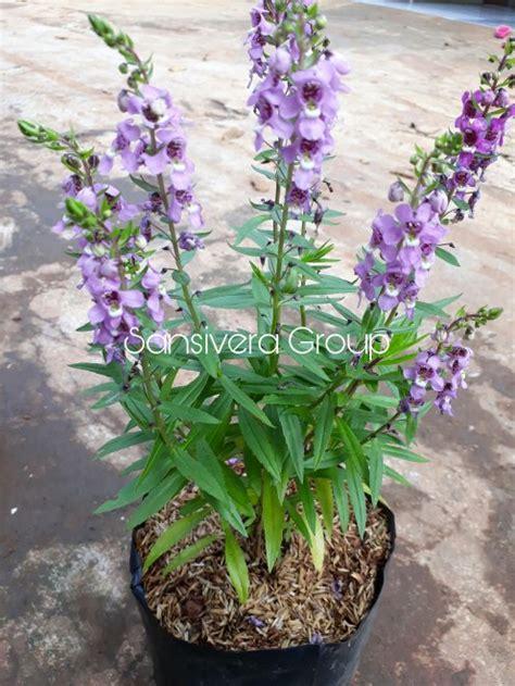 jual tanaman bunga lavender  berbunga  lapak grosir