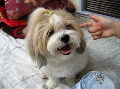 puppy cuts for shichon dogs shichon teddy bear tricks youtube