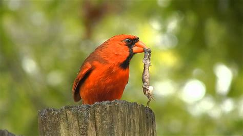 cardinal eating a bug youtube