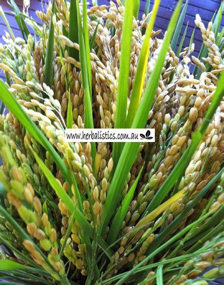 Rice Search Oryza Black Rice Grass Aol Image Search Results