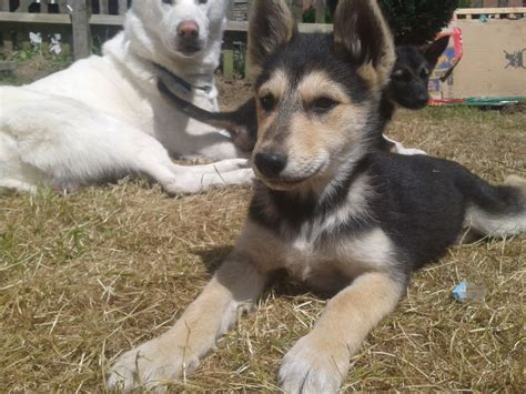 german husky puppies beautiful siberian husky x german shepherd pups scarborough
